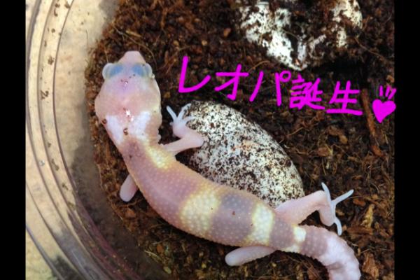 ヒョウモントカゲモドキ 繁殖&孵化!!ベビー誕生です♪