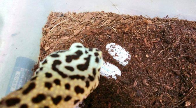 レオパの繁殖2017 ベビー誕生しましたー!